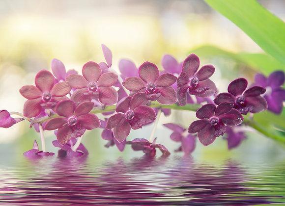 סחלבים סגולים במים