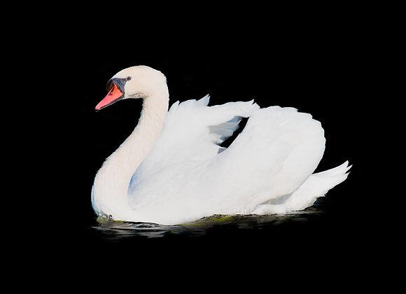 ברבור לבן