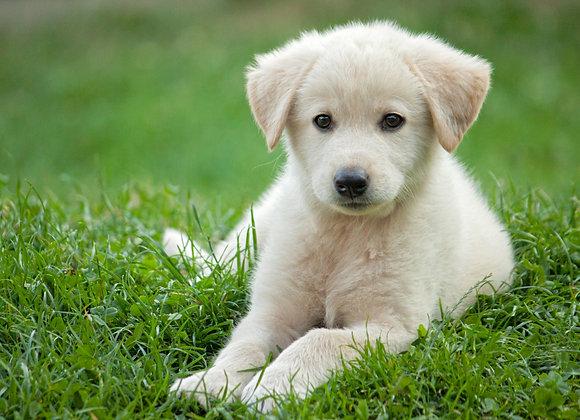 כלב לבן