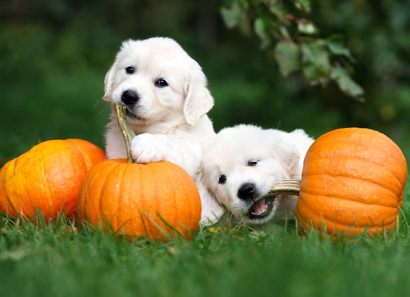גורי כלבים לבנים