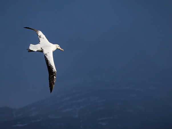 The Wandering Albatross