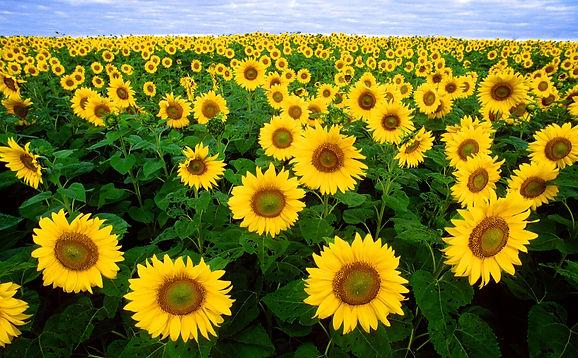 sunflower_sunflower_field_flora.jpg