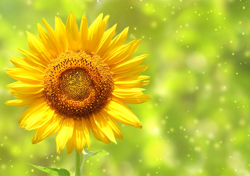 sunflower_image_05_hd_picture.jpg