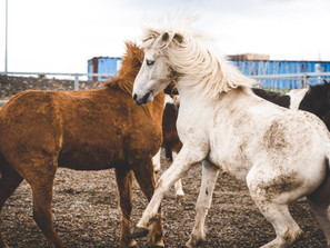 Horseriding with The Icelandic Horse