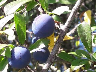Le vin de Prunelle (Prunus spinosa)