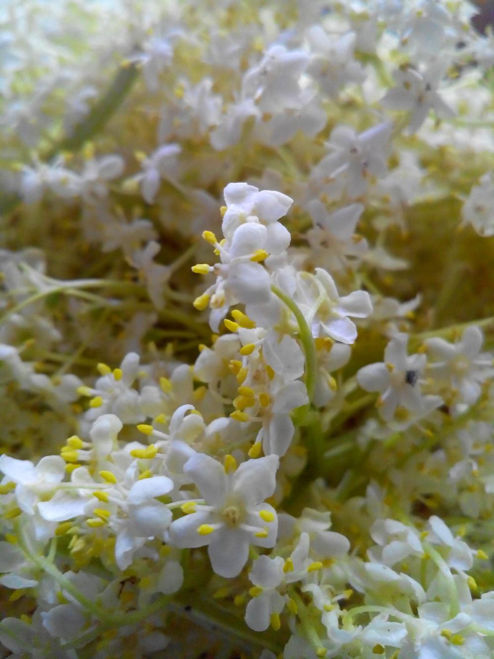 fleur de sureau noir ( Sambucus nigra )