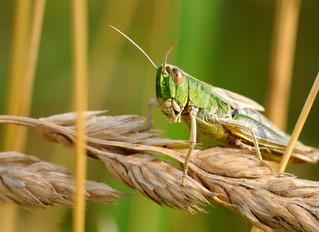 10 Bonnes raisons de manger des insectes