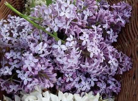 Des sirops aux arômes florales pour mettre le printemps en bouteille : Lilas, Robinier faux acacia,