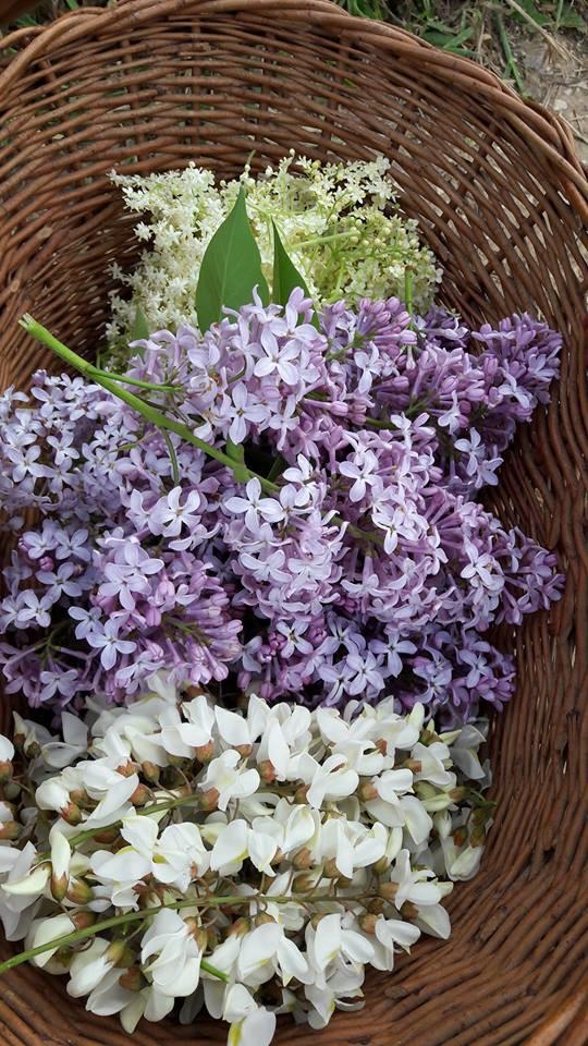 fleurs de lilas, sureau et robinier faux acacia