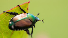 The Japanese Beetle (aka White Grubs)