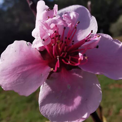 Fleur du verger.jpg