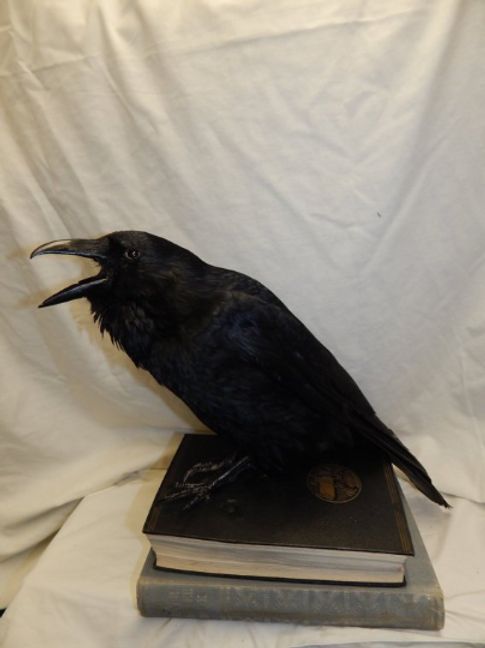 Taxidermy crow