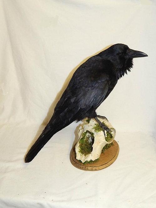Taxdermy European Crow on Ram Skull Fragment