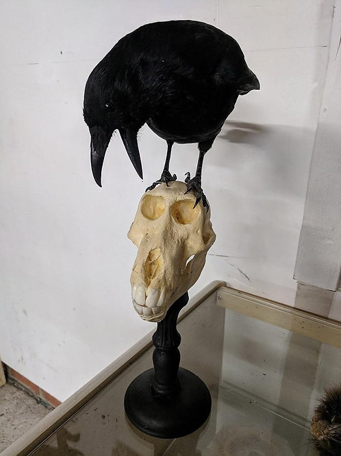 Taxidermy crow on replica baboon skull