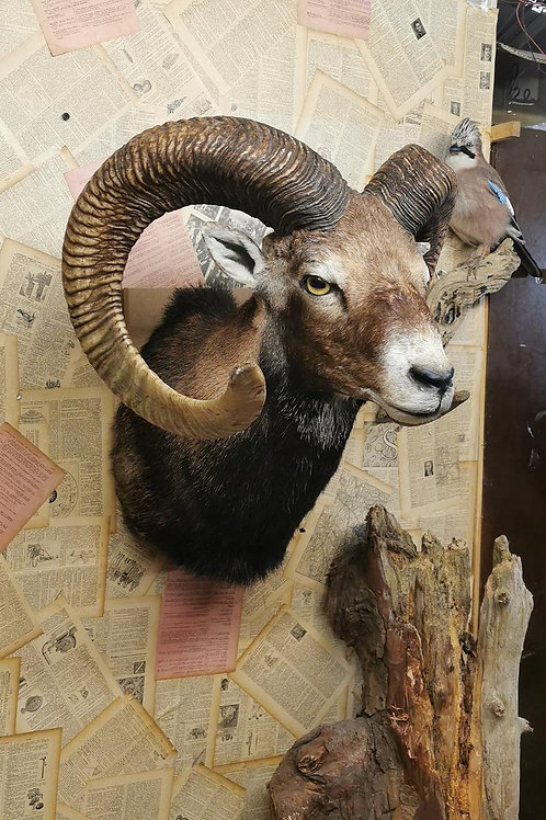 Taxidermy muflon head - right view
