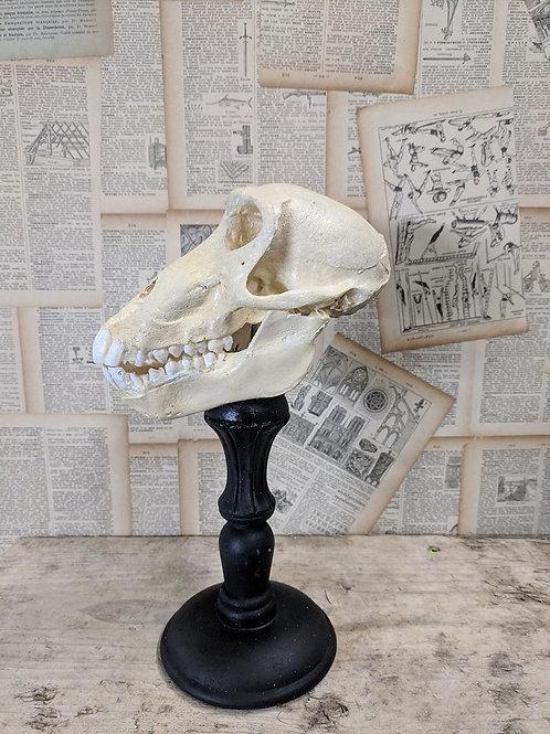 Replica baboon skull - left view