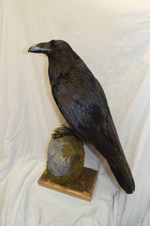 Taxidermy Raven fixed to a base , Made to Order