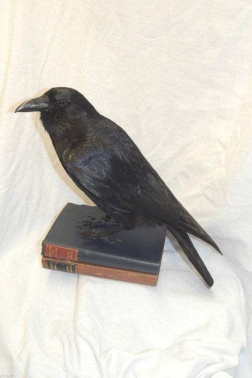 Taxidermy crow on two similar books