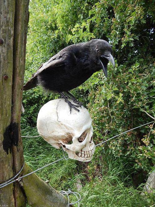 Taxidermy crow on replica human skull 1