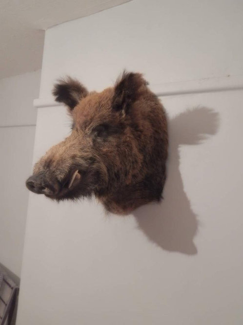 Taxidermy wild boar head - left view