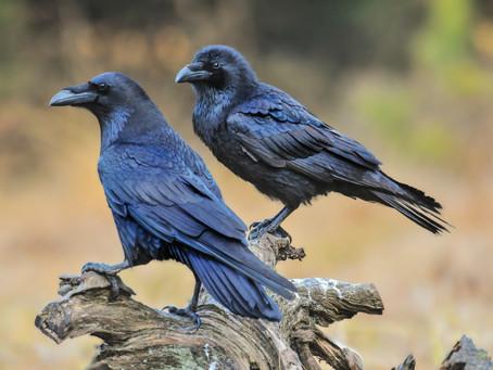 Crow Taxidermy.