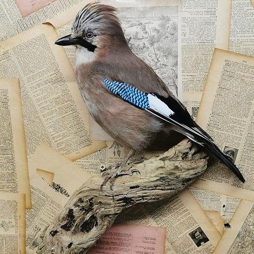 Taxidermy European Jay