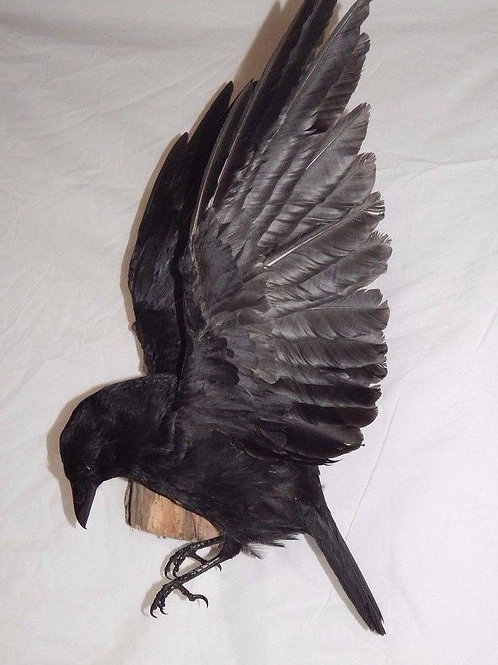 Taxidermy Crow with Open Wings - Made to Order
