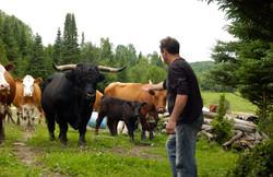 Production de vache à boeuf