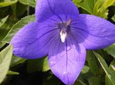 Platycodon (Balloon Flower)