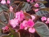 Doublet Begonia