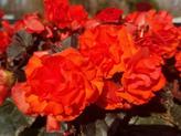 Solenia Begonia