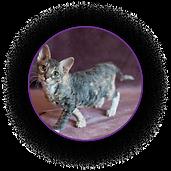 Таби кошка Уральский рекс