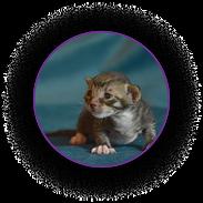 Котёнок Уральский рекс