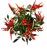 Hot Peppers Plant@0.5x.png