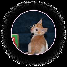 Рыжий котёнок уральский рекс