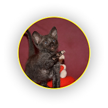 Чёрный котёнок Уральского рекса