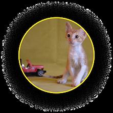 Котёнок Уральского рекса