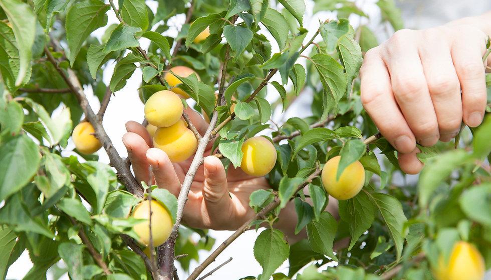 契約農家で作られた梅を使用
