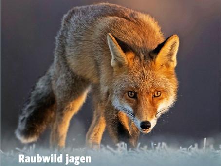 Der Fuchs ist bereits unterwegs ins Muotathal......