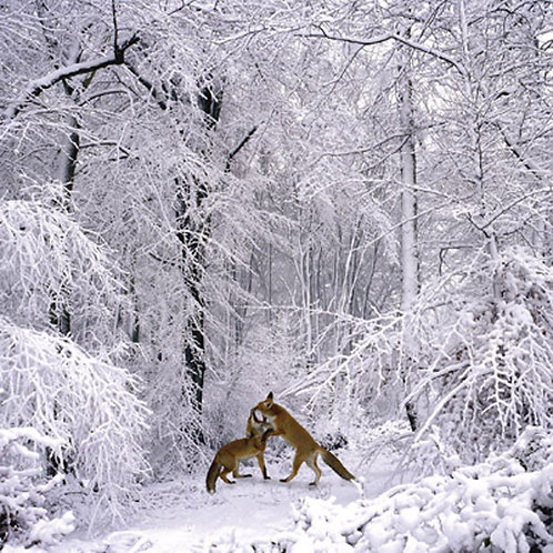 Foxes In A Snowy Glade