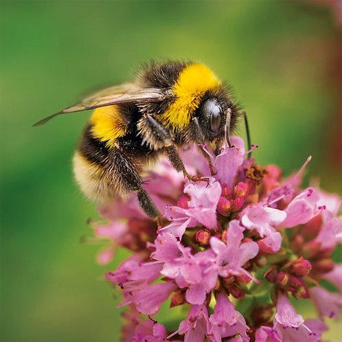 Wildlife Trust Buff-Tailed Bee