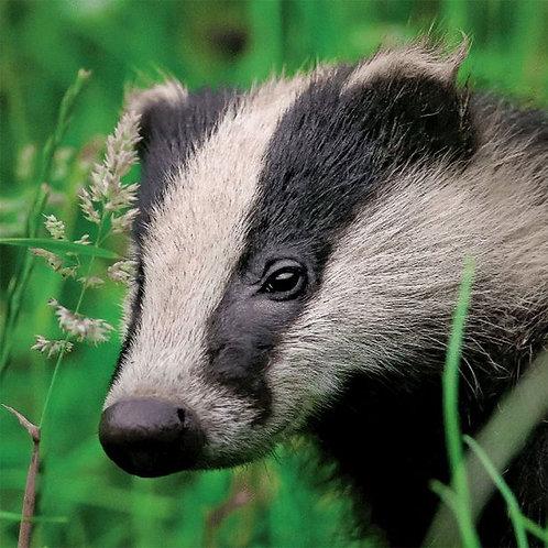 Wildlife Trust Badger