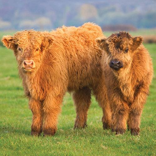 Highland Calves