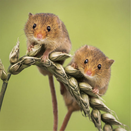 Wildlife Trust Harvest Mice