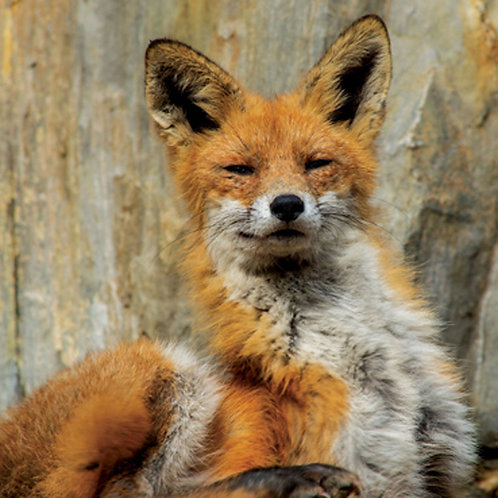 The Wily Fox