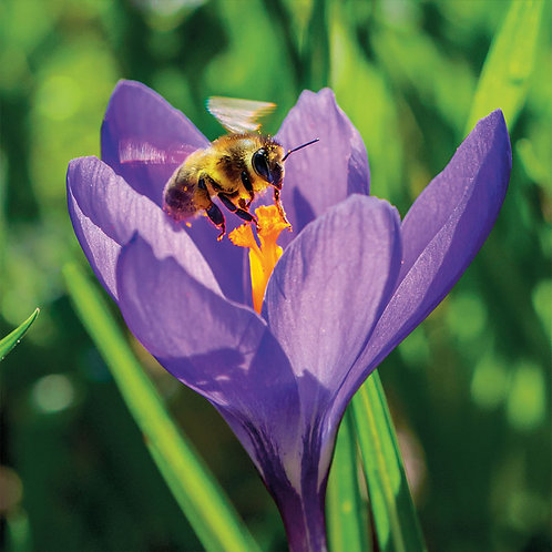 Scott Moorish Crocus & Bee