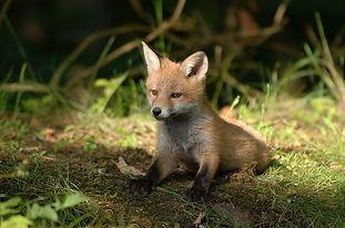 foxkit.jpg