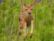 baby_deer.jpg