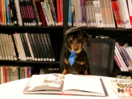 Sausage dog Jimmy C in the library