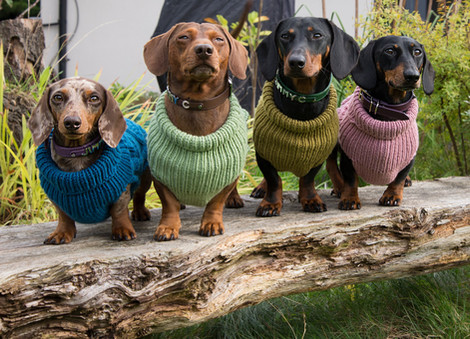 Dachshunds in jumpers